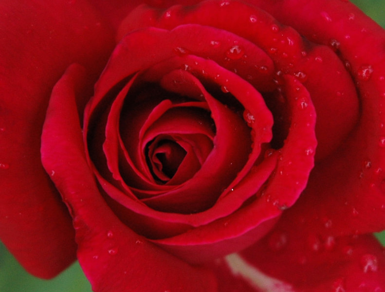 Red Rose in the Rain