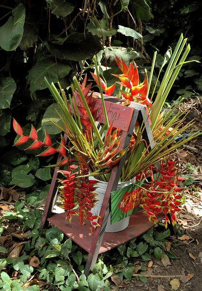 Bird of Paradise Flowers in Offering, Molokai, Hawaii