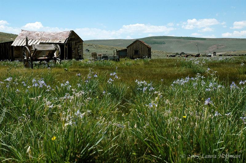 Bodie Wild Flowers