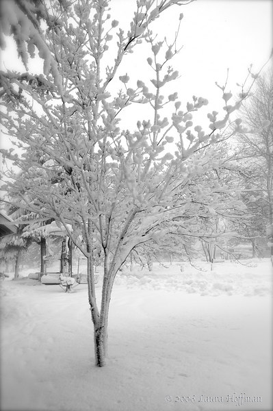 Snow Tree, Shasta California