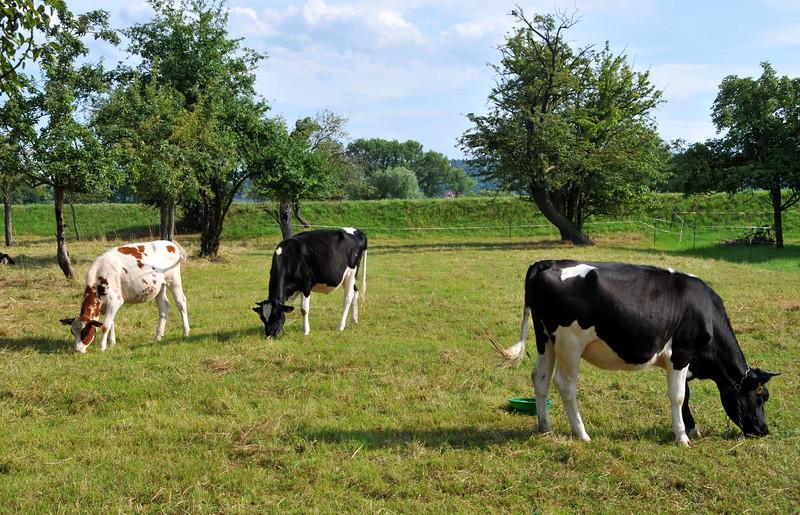 Cows in Germany near Dresden