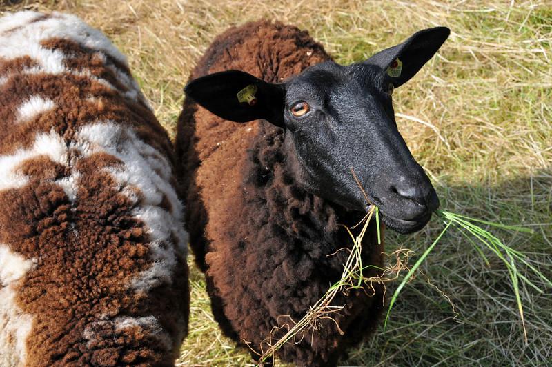 German Goats