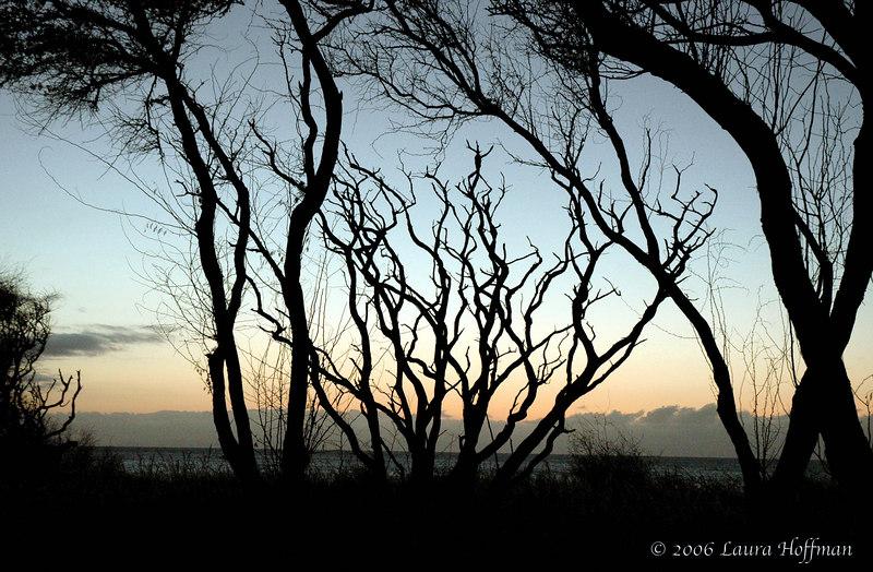 Molokai Kiawe Trees