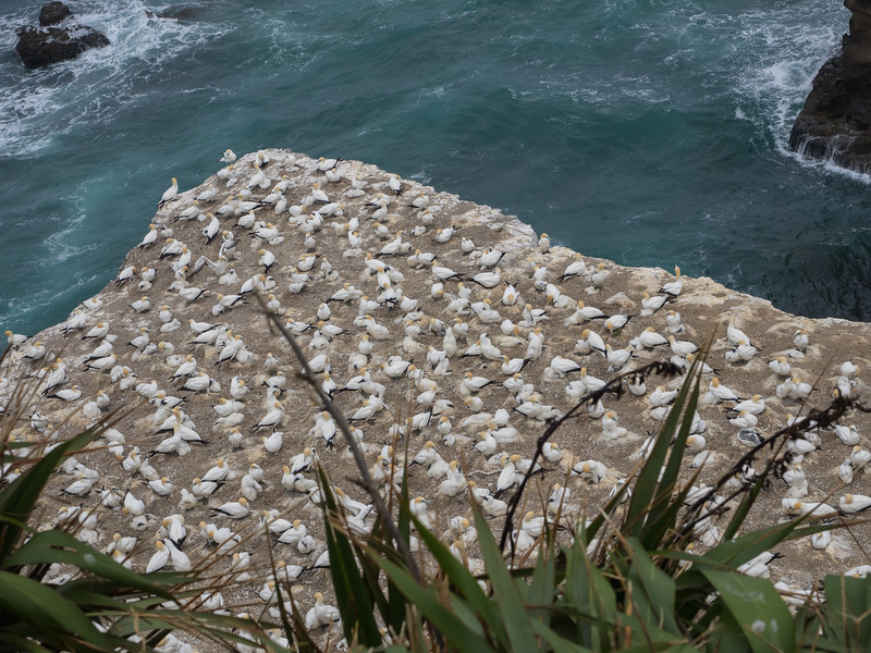 Gannet Colony near Auckland