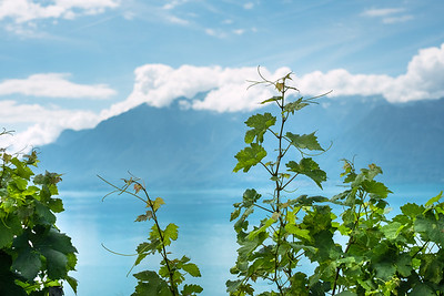 Details of a vineyard in Lavaux