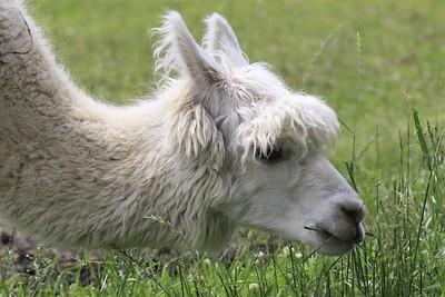 Allison Gregor - June30-alpaca8