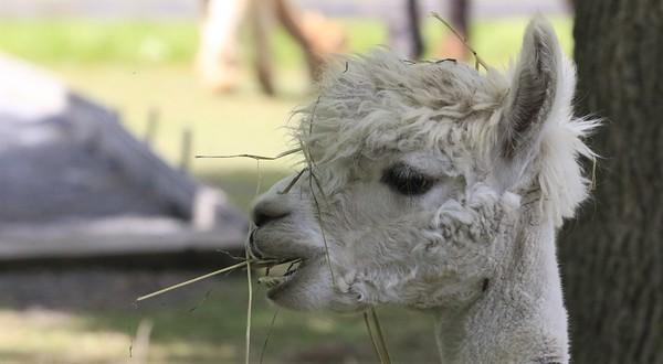 Allison Gregor - June30-alpaca2