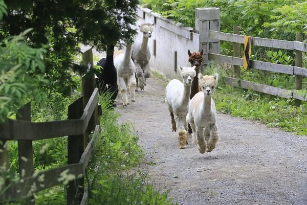 Allison Gregor - June30-alpaca9-running