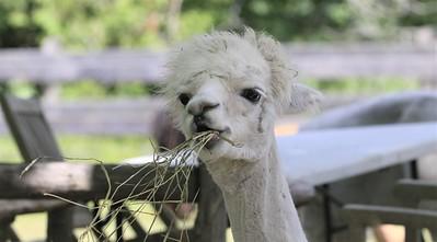 Allison Gregor - June30-alpaca