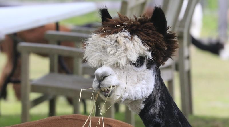 Allison Gregor - June30-alpaca7