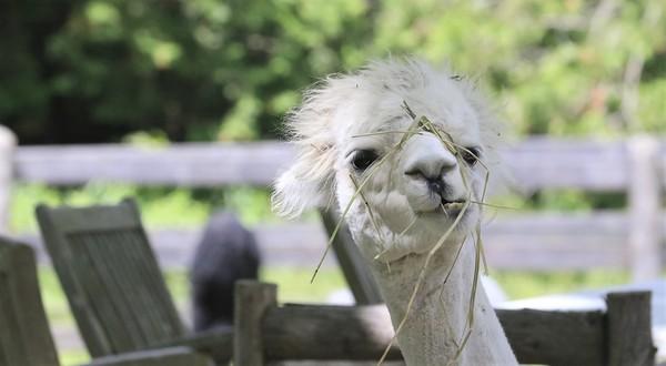 Allison Gregor - June30-alpaca5
