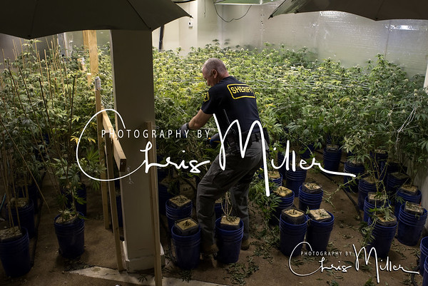 (992) Illegal Marijuana Grow 10-19-16 Photography by Chris Miller