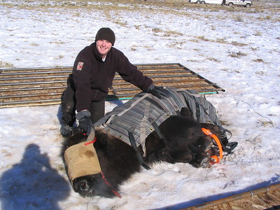 Officer Justin Shirley with a retrained bison during an assessment