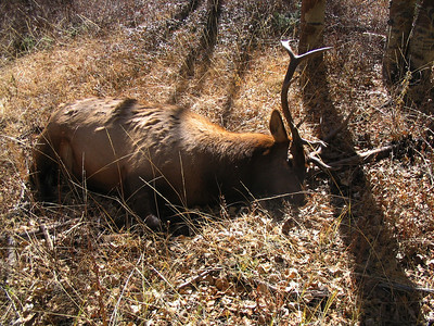 Poached bull elk in Southeast Region