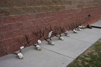 Two men will spend six months in jail and pay more than $40,000 in restitution and fines for poaching these deer and pronghorn in southern Utah.  They might also lose their hunting privileges in Utah and 30 other states.  Photo by Lynn Chamberlain, Utah Division of Wildlife Resources on 5-25-09.