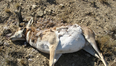 Pronghorn buck shot and left in Emery County