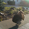 Neighborhood turkeys, Jan 2011