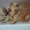04 Sasha Puppies Apr 15 1998