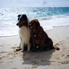 Shawnee with her buddy Merlin on the beach during our 2nd trip to Bermuda - November 1998