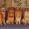 The Golden Family of Shawnee, Sasha, Shiloh and Savanah at Trois Rivieres - June 23, 2001