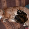 Kally Kitty loved Shawnee and was always cuddling with her.  They are now together again at The Bridge. - January 28, 2002