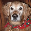 Wearing her Christmas bandanna - December 23, 2002