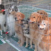 Here are Whoopi, Merlin, Sasha, Boomer, Savanah, Shiloh & Shawnee in the x-pen by the trailer at shows in Rothesay, New Brunswick - August 15, 2002