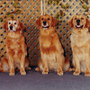 3 generations of Golden girls, Shawnee, Sasha and Savanah at Trois Rivieres - June 23, 2001
