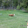 69 DSCN0409 Dogs playing May 6 2006