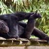 Le gorille - Bernard Dimey