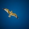 La défroque des corbeaux (Corbeaux) - Allain Leprest