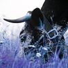 Les bêtes à cornes - Allain Leprest