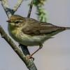 Willow Warbler - Løvsanger