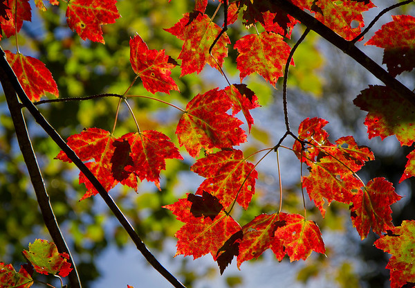 Leaf Colors