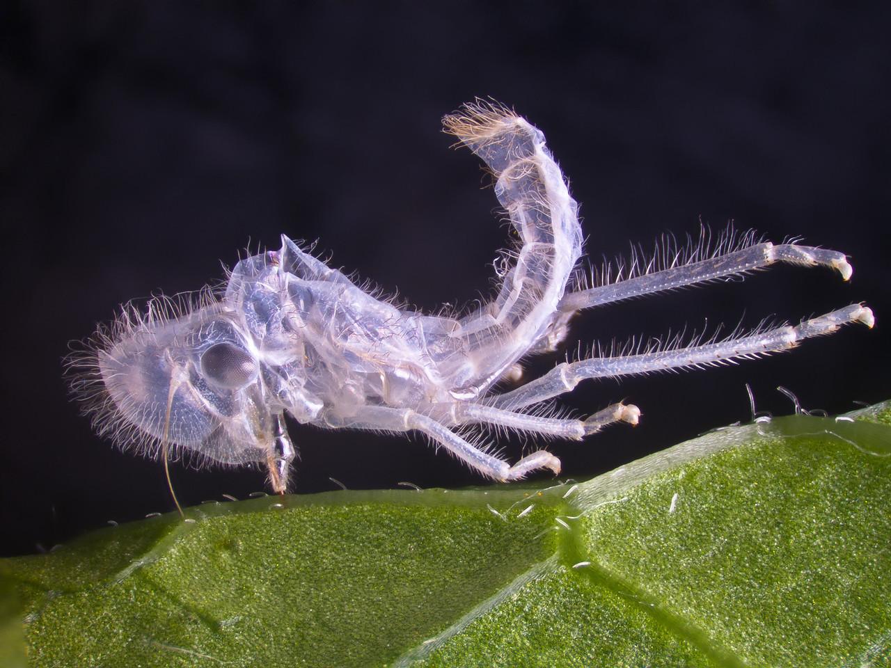 Paraulacizes irrorata, exuvia, leafhopper