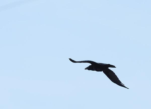 Bird in flight: difficult light