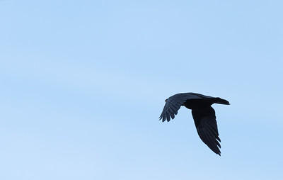 Bird in flight @ 500mm