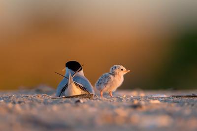 Terns Keeping Watch