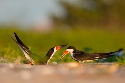 Black Skimmer Mating Season