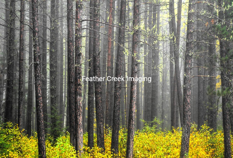 Foggy Pine