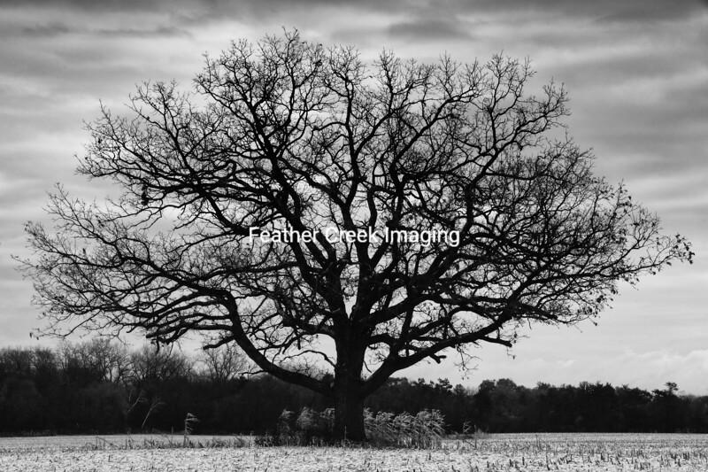Harvest Oak