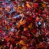 Maples Leaves in Water