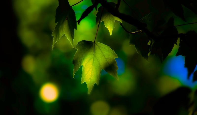 Leaves in the Light-006.jpg