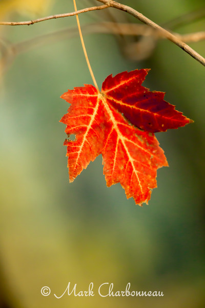Red Leaf with Aqau Backdrop