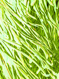 Oregon Sea Grass Lime