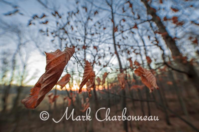 Wrinkled Elm Leaves