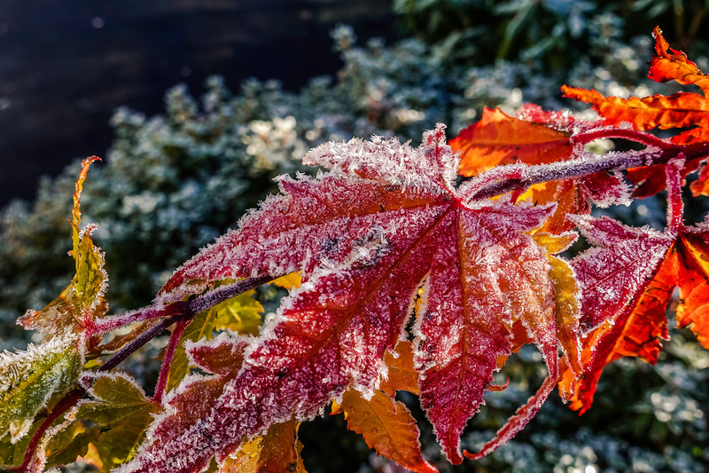 Frozen Maple Leaves