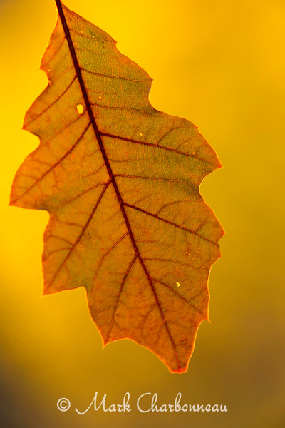 Oak Leaf Veins