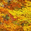 Abundant Maples