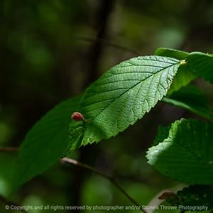 015-leaf_gall-wdsm-15may21-09x09-006-400-0992